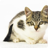 Domestic Shorthair Cat for adoption in Oxford, Mississippi - Harry Potter - Foster Care