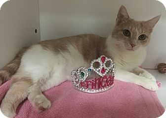 Domestic Shorthair Cat for adoption in Hamburg, New York - Pumpkin