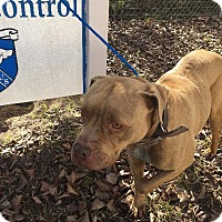 Pit Bull Terrier/Terrier (Unknown Type, Small) Mix Dog for adoption in Whiteville, North Carolina - Annie