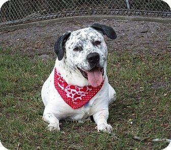 Dalmatian/Labrador Retriever Mix Dog for adoption in Tampa, Florida - Doc