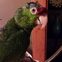 Adopt A Pet :: Robert - St. Louis, MO