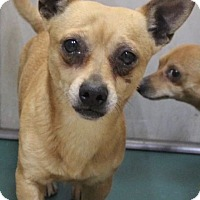 Chihuahua Mix Dog for adoption in Middlebury, Connecticut - Oscar