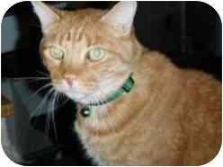 Domestic Shorthair Cat for adoption in Pasadena, California - Tinker