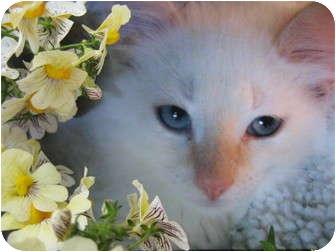 Siamese Kitten for adoption in Brea, California - The Baby