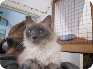 Ragdoll Cat for adoption in Davis, California - Cricket