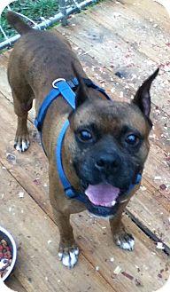 Boxer Dog for adoption in Hazard, Kentucky - Mosby
