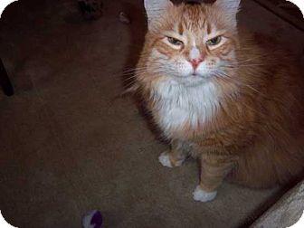 Domestic Shorthair Cat for adoption in Laguna Woods, California - Charlie