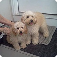 Adopt A Pet :: Bichon/Poodle puppiesS.Windsor - Killingworth, CT
