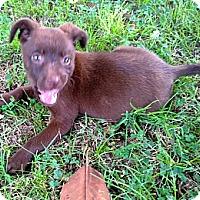 Adopt A Pet :: LITTLE ROSE - Glastonbury, CT