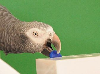 African Grey for adoption in Asheville, North Carolina - Argo