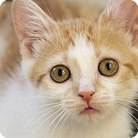 Adopt A Pet :: Arya - Chicago, IL