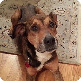 German Shepherd Dog Mix Dog for adoption in Oakland Gardens, New York - Buddy