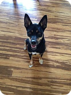 Shepherd (Unknown Type) Mix Dog for adoption in Greeneville, Tennessee - Saxon (Cat Friendly)