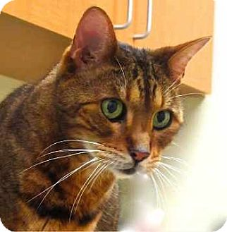 Bengal Cat for adoption in Davis, California - Ramses