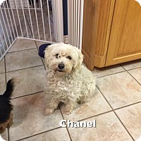 Adopt A Pet :: CHANEL - Lindale, TX