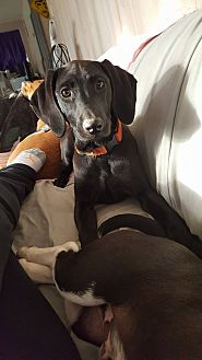 Labrador Retriever/Hound (Unknown Type) Mix Dog for adoption in Billerica, Massachusetts - Mandy