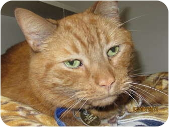 Domestic Shorthair Cat for adoption in Richfield, Ohio - Sanford