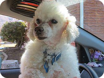 Poodle (Toy or Tea Cup) Dog for adoption in Ogden, Utah - Toby