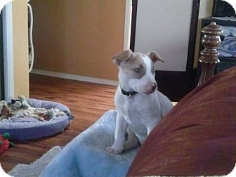 Bull Terrier/Jack Russell Terrier Mix Puppy for adoption in Torrance, California - JACKIE