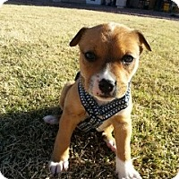 Adopt A Pet :: Falloe - Only $95 adoption! - Litchfield Park, AZ