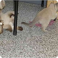 Adopt A Pet :: chocolate - Hesperia, CA