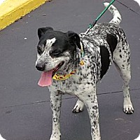 Pointer/Cattle Dog Mix Dog for adoption in Somerset, Kentucky - Specks