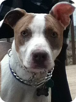 Pit Bull Terrier Mix Dog for adoption in New Yor, New York - FRANKIE