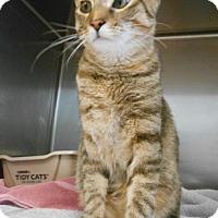 Domestic Shorthair Cat for adoption in Hilton Head, South Carolina - Meteor