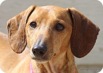Dachshund Dog for adoption in Spokane, Washington - Holly Berry, 7 yrs, $300 fee
