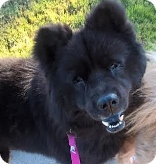 Chow Chow Dog for adoption in Mansfield, Texas - Brodie