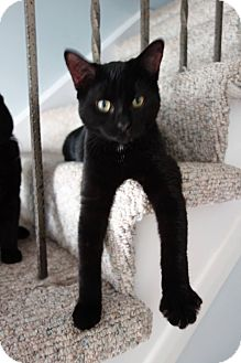 Domestic Shorthair Kitten for adoption in THORNHILL, Ontario - Wheels