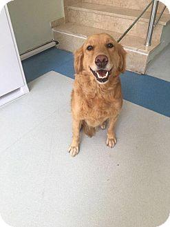 Golden Retriever Dog for adoption in Washington, D.C. - Fiona