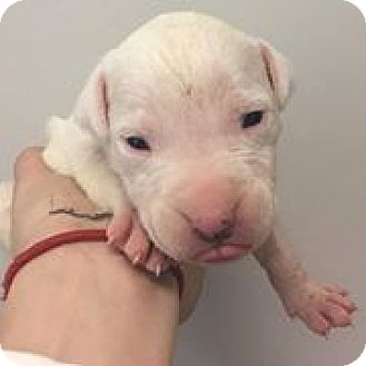 American Pit Bull Terrier Puppy for adoption in Greensboro, North Carolina - Peter
