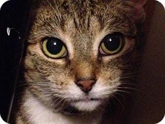 Domestic Mediumhair Cat for adoption in New York, New York - Jojo