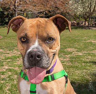 Boxer Dog for adoption in Denver, Colorado - Colt