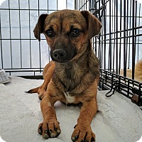 Adopt A Pet :: Dottie - Las Vegas, NV