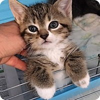 Adopt A Pet :: Toby - Dumfries, VA
