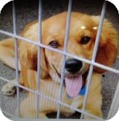 Golden Retriever/Cocker Spaniel Mix Puppy for adoption in Newtown, Connecticut - Jake