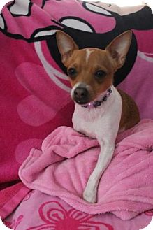 Chihuahua Mix Dog for adoption in New Boston, New Hampshire - Elvis