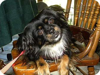 Cavalier King Charles Spaniel Mix Dog for adoption in Youngstown, Ohio - Sweet Pea ~ Adoption Pending