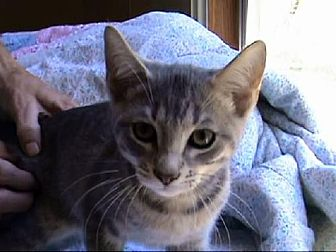 Domestic Shorthair Cat for adoption in Tyler, Texas - A-Kitten #2