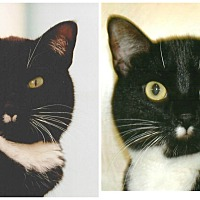 Adopt A Pet :: Oreo - Forked River, NJ