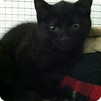 Adopt A Pet :: Moggie - Trevose, PA
