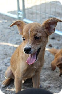 Terrier (Unknown Type, Small)/Chihuahua Mix Dog for adoption in Lodi, California - Cheeto