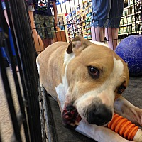 Pit Bull Terrier Mix Dog for adoption in Las Vegas, Nevada - Prince