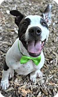 American Staffordshire Terrier/Great Dane Mix Puppy for adoption in Cherry Hill, New Jersey - Mason