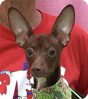 Rat Terrier Dog for adoption in Evansville, Indiana - Tilly