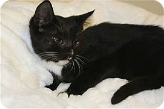 Domestic Shorthair Kitten for adoption in Lincoln, California - Hidalgo