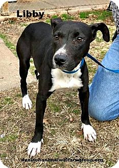 Pit Bull Terrier Mix Dog for adoption in Denison, Texas - Libby
