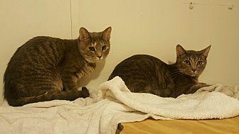 Domestic Shorthair Cat for adoption in Salisbury, North Carolina - Tara & Tiffany